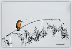 Eisvogel / Kingfisher Explored 16/01/2016 (Sakerfalke) Tags: kingfisher eisvogel mritznationalpark sakerfalkefotografie