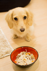 IMG_3877 (yukichinoko) Tags: dog dachshund 犬 kinako ダックスフント ダックスフンド きなこ