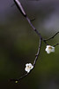 192A3778VF (HL's Photo) Tags: park winter plant flower nature natural blossom taipei blooming plumflower