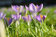 Heralds (simon.stoelben) Tags: flowers plants green nature grass closeup spring natur pflanzen meadow violet sunny blumen sonnig nahaufnahme frhling crocuses iridaceae crocussativusl