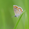 Collier de corail - Argus brun (-Dop-) Tags: belgique liège lycaenidae ariciaagestis braives