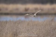 20160207-2R6A8388_export (Tyler Hartje) Tags: bird washington short owl eared shortearedowl