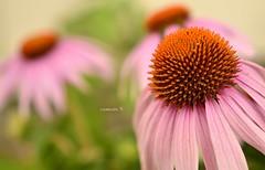 (wickedhair) Tags: california pink flowers plants flower color macro green nature fleurs garden landscape landscapes petals nikon wickedhair d7000 wendielou