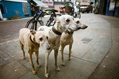 Cerberus (teddave) Tags: whippet wimpy cerberus