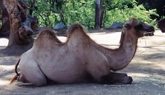 Bactrian Camel, San Diego Zoo (Animal People Forum) Tags: animals zoo sandiego camel sandiegozoo mammals camels bactrian bactriancamel