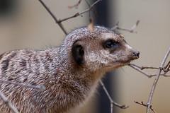 Erdmnnchen (hakbak) Tags: animal canon zoo tiere tierpark tiergarten tier augsburg erdmnnchen tierwelt canon702004l eos40d