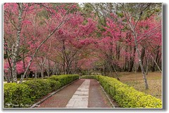 20140203__5D3_6832 ( ( Allen Yang )) Tags: canon landscapes taiwan  cherryblossoms     nantou  canonef2470mmf28liiusm canoneos5dmarkiii allenyang 5d3  allenabcmsahinetnet