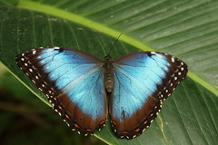 TROPICAL WINGS ZOO 4 (pearl.winch) Tags: blue butterfly vivid and essex chelmsford tropicalhouse woodham ferrers tropicalwingszoo 1stfebruary2016 black7600soocsouth