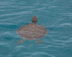 BarbadosCarribean 2016_00352 (david williams5) Tags: turtle shell barbados caribbean seaturtle cheloniamydas greenturtle carapace