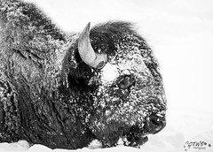 sleeping bison portrait bnw (chasingthewildoutdoors) Tags: winter wild white snow black cold animal canon mammal buffalo wildlife sigma bison