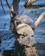 turtles on a log (apmckinlay) Tags: nature animals herptiles