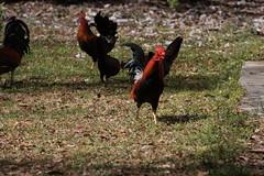 Canon201735 (godrudy6661) Tags: chickens chicken neworleans ninthward wildchicken feralchicken