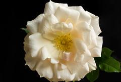 Springtime! (J_Richard_Link) Tags: plant nature rose yellow canon eos flora availablelight naturallight eos7d