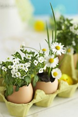 Eggshell Daisies (Heath & the B.L.T. boys) Tags: egg eggcarton flowers gardening diy spring