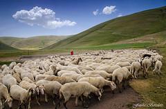 flock -Castelluccio -Italy- (fausta222) Tags: italy green clouds flock altopiano castelluccio