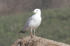 Caspian gull / Larus cachinnans / Pontische meeuw 2cy [R] 47P6 (Herman Bouman) Tags: caspiangull laruscachinnans pontischemeeuw