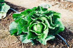 Sobremesa Farm (aubreyrose) Tags: plants farm indiana growth soil greenhouse produce local bloomington brusselssprouts permaculture sobremesa sobremesafarm