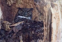 Great Horned Owl (Peter Bangayan) Tags: an