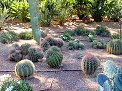 Ferocactus (amantedar) Tags: spain catalonia ferocactus cactusgarden caproig jardinsdecaproig
