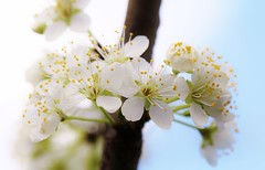 IMG_7518 (fumei_lin) Tags: flowers fruittree plumblossoms