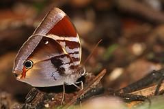 Thaumantis odona (moloch05) Tags: malaysia taman negara