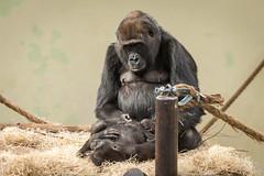 2016-02-25-12h32m38.BL7R8914 (A.J. Haverkamp) Tags: zoo gorilla arnhem thenetherlands burgerszoo dierentuin madiba westernlowlandgorilla westelijkelaaglandgorilla canonef100400mmf4556lisusmlens makoua httpwwwburgerszoonl pobberlingermany dob11062004 pobarnhemthenetherlands dob24102013