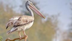 Top Spot!! (raveclix) Tags: india birds canon sigma pelican ranganathittubirdsanctuary migratorybirds spotbilledpelican pelecanusphilippensis incredibleindia canoneos400d digitalrebelxti sigma150500mmf563apodgoshsm raveclix
