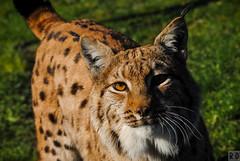 Lynx des Carpates - Zoo de Fort-Mardyck
