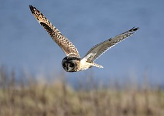 Short-eared Owl. (jimbrownrosyth) Tags: