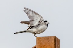 Pied Wagtail (phat5toe) Tags: nature birds nikon wildlife feathers avian wigan flashes greywagtail greenheart d7000 sigma150500
