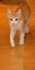 Gato Jinks  (3)x (adopcionesfelinasvalencia) Tags: gato jinks