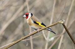 Goldfinch posing (David Blandford photography) Tags: bird woodland garden goldfinch hampshire hide blashfordlakes