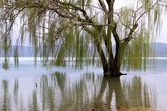 (claudiophoto) Tags: panorama lake alberi reflections landscape riflessi umbria trasimeno willowtree salice lagotrasimeno torricella paesaggiditalia