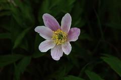 Anemone nemorosa (Hugo von Schreck) Tags: flower macro blume makro wildflower f13 wildblume tamronspaf180mmf35dildifmacro11 canoneos5dsr hugovonschreck