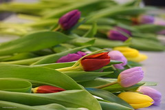 Thanks a bunch (Ineke Klaassen) Tags: bunch tulip tulpen tulp tulips flora flowers flower floral fleur fleurs bloemen bloem flowerarranging boeket kleur kleurrijk kleuren color colour colourful colorful colors couleur couleurs holland thenetherlands nl nederland ned e55210mm sony sonya6000 sonyalphateam 6000 alpha ilce 600views 1025fav nederlandvandaag 700views 15faves 15favs 1000views 210mm heliconvmbonijmegen helicon 7dwf zoomnl 1250views 30faves