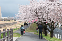 Morning commuting (Wunkai) Tags: japan river  cherryblossom sakura riverbank dike embankment sakuragawa   bloomed  ibarakiken  mitoshi