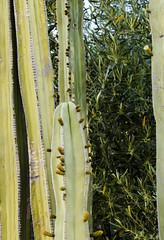 Backyard Cactus 030 (ljguitar) Tags: quail centuryplant suncitywest backyardcactus petemarilyn
