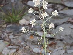 (joysahaibrown) Tags: flowers white green nature outside backyard like follow fave followers