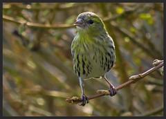 Siskin (female) (TAKEUSTOO) Tags: colour sexy nature beauty birds woodland garden outdoors wildlife feathers beaks allnaturesparadise