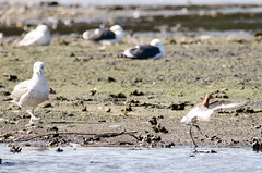 Black-tailed godwit (jkyles32) Tags: godwit blacktailedgodwit brandonmarsh wkwtbrandonmarsh