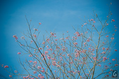 CDO Sakura (amarkgio) Tags: winter summer japan season de cherry tokyo spring kyoto post time philippines blossoms tropical magnolia sakura oriental hanami cagayan oro mindanao cdo misamis