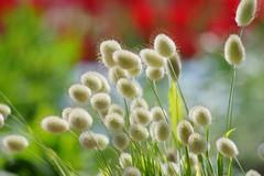 ラグルス・オバタス/Lagurus ovatus -3 (nobuflickr) Tags: flower nature japan kyoto 日本 花 thekyotobotanicalgarden 京都府立植物園 lagurusovatus awesomeblossoms イネ科ラグルス属 ウサギノシッポ ラグルス・オバタス 20160419dsc07509