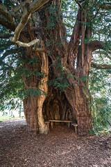 20160317-0023 (www.cjo.info) Tags: england plant tree digital bench flora europe unitedkingdom fujifilm yew herefordshire europeanunion hollow westerneurope stbartholomewschurch muchmarcle xmount xfmount fujifilmxe1 fujinonxf1855mmf284rlmois