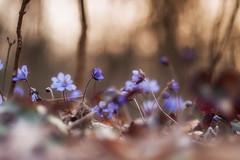 blues (Rainer Schund) Tags: blue nature nikon sonnenuntergang bokeh natur wiese blau blume makro wald frhling unschrfe nikond700 naturemasterclass natureexploring
