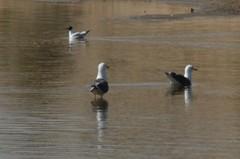 Img_2239 (steven.heywood) Tags: marina gulls crosby