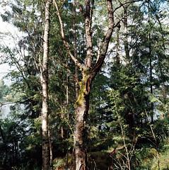 Tree (romain@pola620) Tags: tree green 120 6x6 film analog zeiss forest vintage moss woods kodak sweden outdoor blad hasselblad zen 400 vintagecamera medium sverige analogue 60mm portra arbre 60 503 fort argentique 400iso distagon sude pellicule portra400 moyen moyenformat 503cw analogique