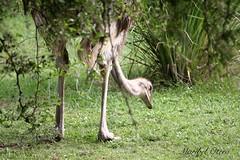 (Maribel Otero) Tags: avestruz