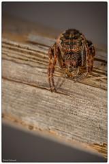 belle saltique (Paloudan) Tags: spider araigne saltique