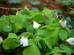 The small Piece of Turf (forest floor) (rainerralph) Tags: spring outdoor wiese forestfloor wald frhling fruehling rasenstck frlora olympusomdem5markii objektiv1240pro thesmallpieceofturf