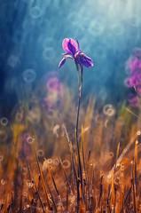 Siberian Iris | Explored on 2016.04.08 | Thank you all! (Psztor Andrs) Tags: morning blue iris flower nature water yellow sunrise lens photography mirror drops nikon hungary dof bokeh droplet manual siberian dslr russian andras sibirica pasztor 3m5amc d5100